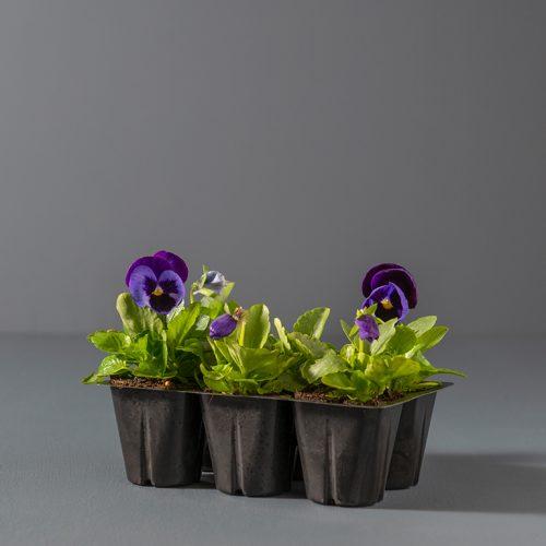 Pansy Seedlings 6-pack | Stodels Online Store