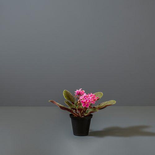 African Violet | Stodels Online Store
