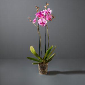 2-stem Orchid Phalaenopsis | Stodels Online Store