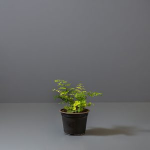 Maidenhair Fern | Stodels Online Store