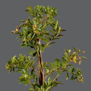 Syzygium Paniculatum 5KG | Stodels Online Store
