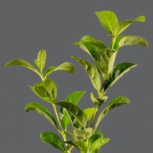 Viburnum Sinensis 17cm | Stodels Online Store